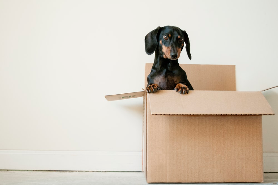 Dachshund inside a moving box looking over the edge of the box.