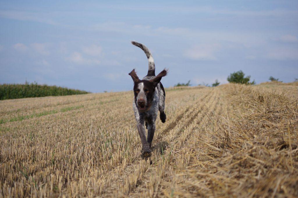 Dog Running in Cornfield