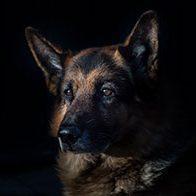 German shepard icon
