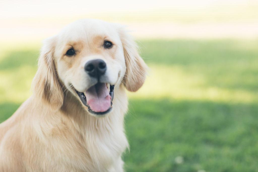 Common working dog golden retriever puppy