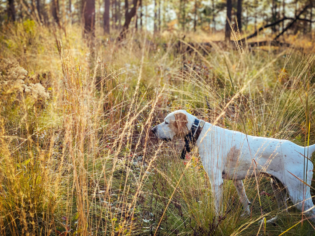 Hunting pointer dog walking around in tall grass